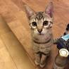 ベンガル仔猫 9/30生まれ生後3ヶ月 3匹います