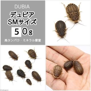 デュビア  SMサイズ