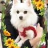 美犬ポメラニアン女の子(ステイシー)