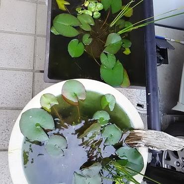 水練、花を咲かせるのは結構たいへん。