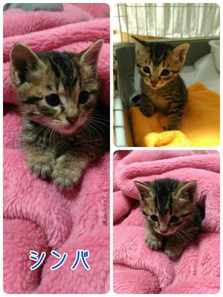 「人が大好きで興味津々のキ...」三重県 - 猫の里親募集(142465)