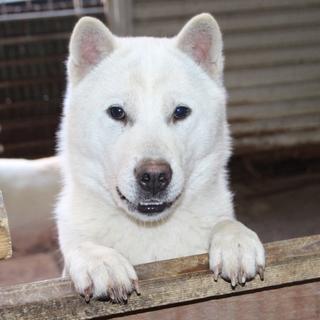 紀州犬 ショータイプの美犬(オス) 1歳