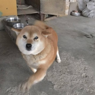 飛行機耳が可愛い柴犬の女の子里親さん募集