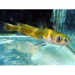 熱帯魚を卒業した川魚