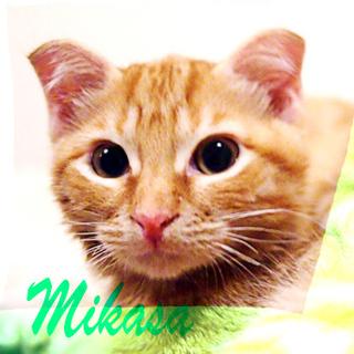 生後4ヶ月折れ耳茶トラ♡スコミックスのミカサ♂