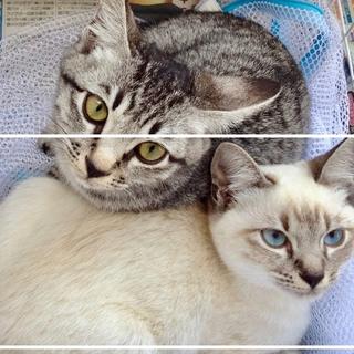 【保護猫:沖縄糸満】シャム仔猫【トライアル中】