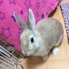 【ミニウサギ】スウちゃん(仮)多頭崩壊から保護 サムネイル7