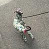 イタリアングレーハウンド女の子1歳 サムネイル4