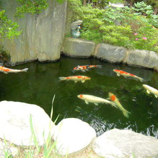 錦鯉(体長70㎝前後8匹)
