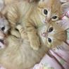 可愛い子猫の里親募集です^ ^茶4匹と白1匹w
