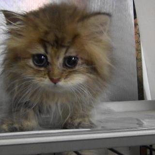 チンチラゴールデンの子猫ちゃん
