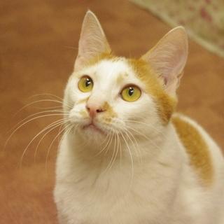 猫も人も大好き!でっかい白茶子猫