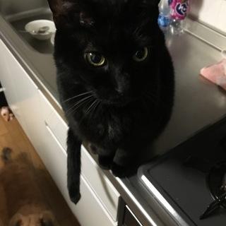 6カ月の黒猫男の子です《動画あり》