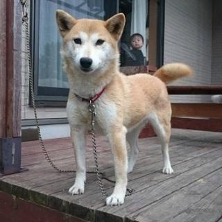 柴犬ミックス夏ちゃんの里親様募集中!