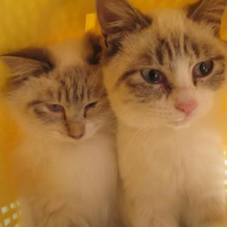 シャム風ブルーアイの可愛い兄弟猫