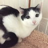 ゴロゴロ甘えん坊 美猫姉弟6ヶ月 弟 白黒