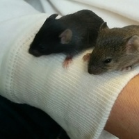 赤ちゃんマウス