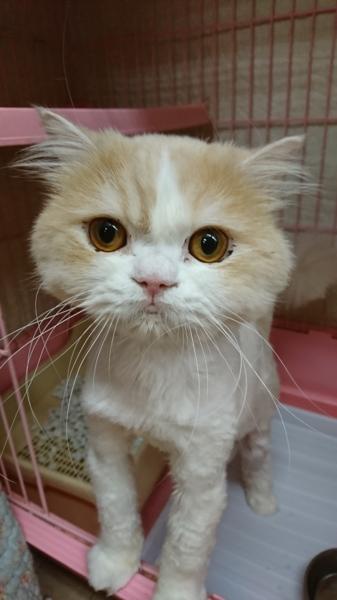 再募集☆ミヌエット☆ナポ」東京都 , 猫の里親募集(143564