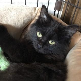 ふわふわペルシャ風の子猫 メス