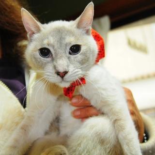 小柄かわいいシャム猫ちゃん
