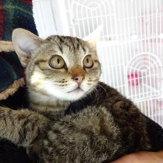 募集停止します 4か月くらいのキジトラ子猫