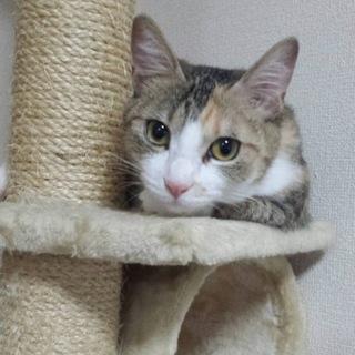 三毛猫模様の「ララ」ちゃん