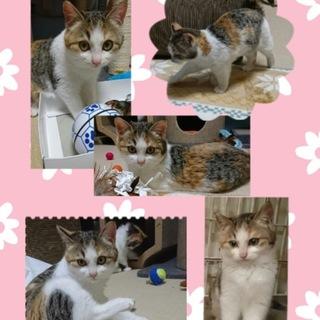 サツキ マンチカンみたいな美猫 (3ヶ月)