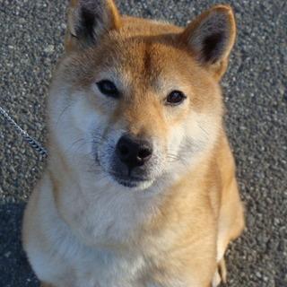 純柴犬5歳の「ヌカ」ちゃん