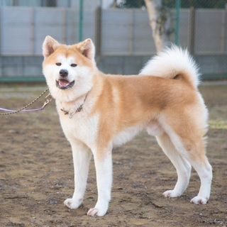 若くて元気な秋田犬の男の子