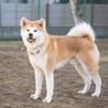 若くて落ち着きのある秋田犬の男の子