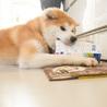 若くて落ち着きのある秋田犬の男の子 サムネイル4