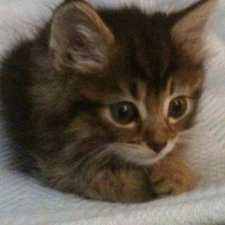 キジトラの子猫女の子ฅ(^ω^ฅ)