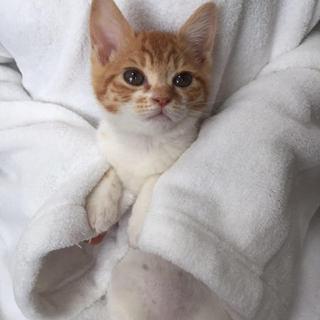 2ヶ月のチビチビ茶トラ白のメス猫ちゃん