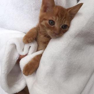 2ヶ月チビチビの茶トラのオス猫ちゃん