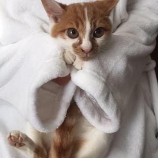 飼いやすい4ヶ月の茶シロ猫ちゃん
