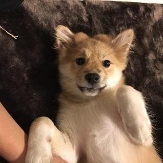 かのこ 和犬MIX風の可愛い女の子