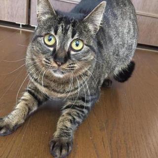 毛並みが綺麗なキジトラ一才のメス猫チャビちゃん