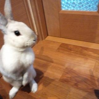 10ヶ月のメスウサギ