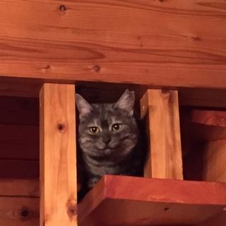 グレーサビ 変わった柄の綺麗な猫さんです