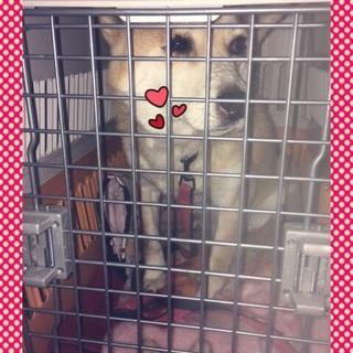 《至急》臆病で可愛い柴犬のモロ里親さん募集‼︎