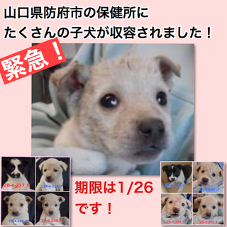 緊急です!たくさんの子犬が収容されました!
