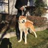 赤毛がきれいな1歳の秋田犬 サムネイル2
