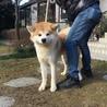 赤毛の秋田犬 1歳のオス「血統書付き」