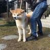 赤毛の秋田犬 1歳のオス「血統書付き」 サムネイル2