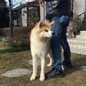赤毛の秋田犬 1歳のオス「血統書付き」 サムネイル3