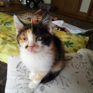 生後4ヶ月☆三毛猫エレイン。