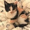 かわいい☆三毛の3ヶ月子猫☆雄とペアも歓迎