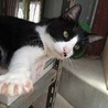 ◆おばあちゃんちの黒白ハチ割れ猫さん①◆
