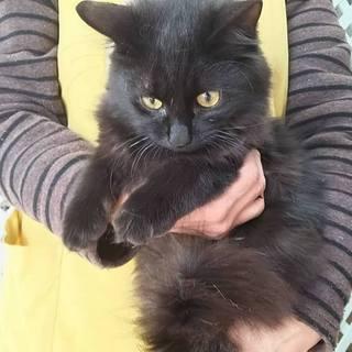 ふわふわの黒猫さん りんちゃん 5か月の女の子
