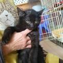やんちゃな黒猫くまちゃん 3か月の男の子